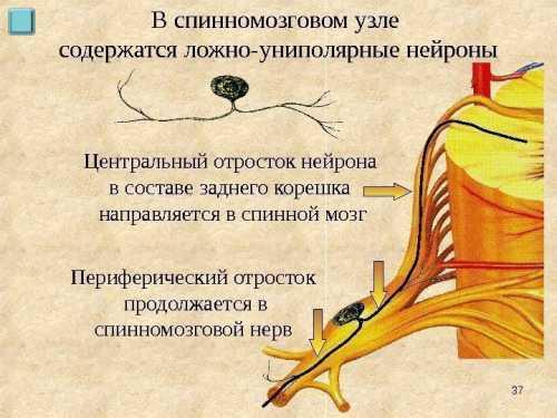 Спинномозговой узел