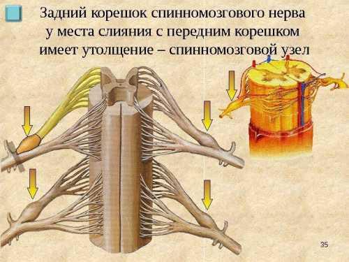 От тела псевдоуни полярного нейрона отходит отросток, разделяющийся