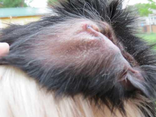 Сухой воздух в помещении может вызвать иссушение кожи у собаки