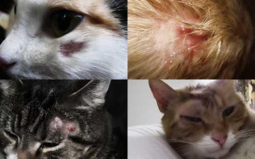 Лишай у кошки признаки и лечение