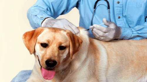 Прививки щенкам это необходимая предосторожность, чтобы вы были спокойны за здоровье питомца и прежде всего за своё собственное, ведь вы живете рядом, и болезни имеют свойство передаваться позиция над и под и фото
